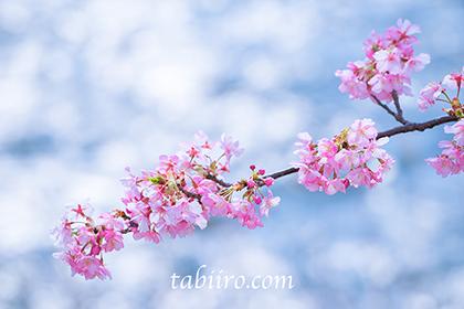 2016,02,15河津桜198a.jpg