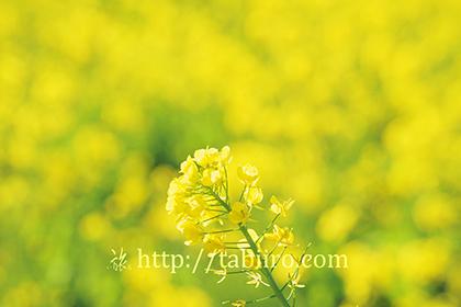 2016,02,16日野の菜の花畑016a.jpg