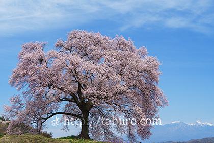 2016,04,06わに塚のサクラ017a.jpg