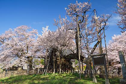 2016,04,06山高神代桜060a.jpg