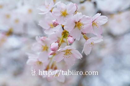 2016,04,08神宮川の桜並木129a.jpg