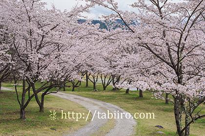2016,04,08神宮川の桜並木157a.jpg