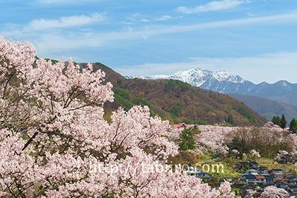 2016,04,09高遠城址公園と南アルプス仙丈ヶ岳040a.jpg