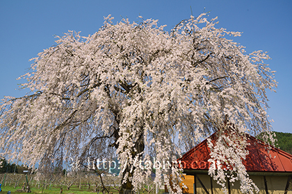 2016,04,16中塩のしだれ桜103a.jpg