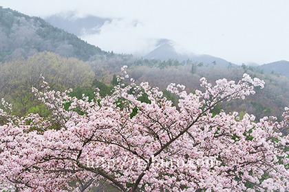 2017,04,08 大法師公園040a.jpg