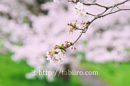 2017,04,08 桜の小枝009a.jpg