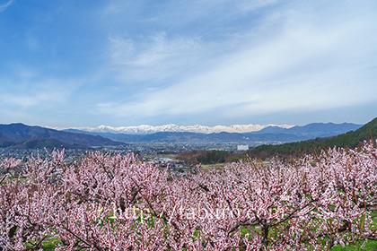 2017,04,10桃畑越しに望む後立山連峰a.jpg