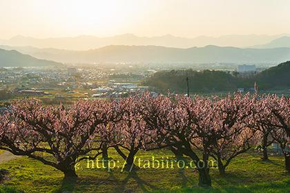2017,04,10梅畑越しに望む後立山連峰の夕日149a.jpg