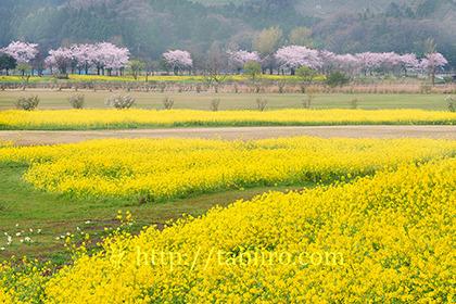2017,04,15上堰潟公園菜の花畑と桜並木009a.jpg