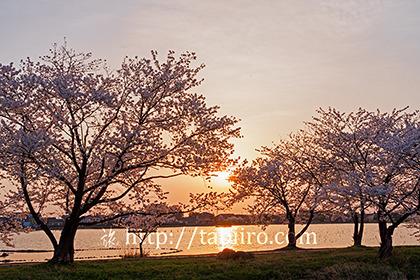 2017,04,16瓢湖の桜越しに見る夕日003a.jpg