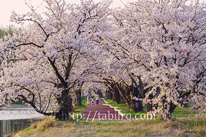 2017,04,16瓢湖の湖畔の桜並木046a.jpg