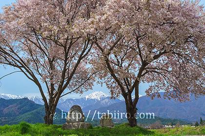 2017,04,20常念道祖神より桜越しに常念岳を望む016a.jpg