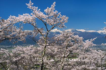 2017,04,23光城山より桜越し望む北アルプス316a.jpg