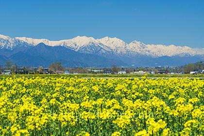 2017,04,23安曇野より名の花畑越しに望む後立山連峰042a.jpg