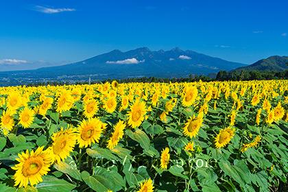 2019,08,09明野のひまわり畑越しに八ヶ岳を望むB.jpg