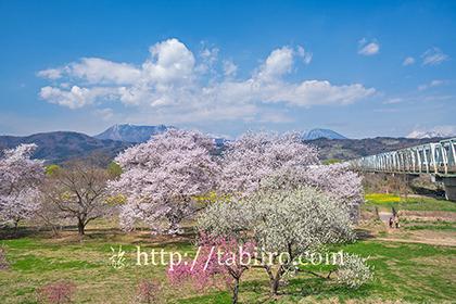 2021,04,08千曲川より桜と北信五岳003b.jpg