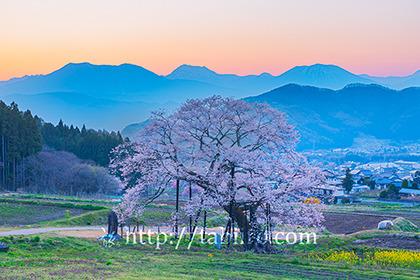 2021,04,19高山村エドヒガンザクラの夕景210b.jpg