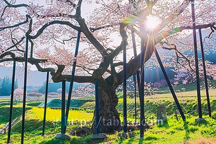 2021,04,20高山村朝のエドヒガンザクラ230b.jpg