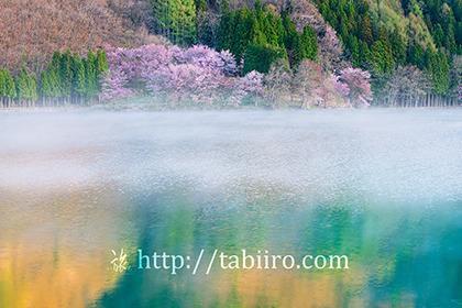 2021,04,27中綱湖オオヤマザクラ063b.jpg